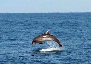 Mare: branco delfini avvistato al largo di Pesaro