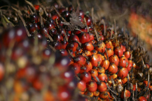 semi-palma-olio