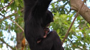 gibboneSiamango_cucciolo_ZoomTorino_Sumatra-7-300x168